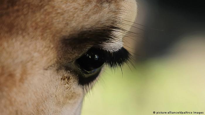 Close-up of a giraffe's eye