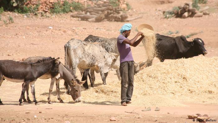 Farmer feeds donkeys and cattle