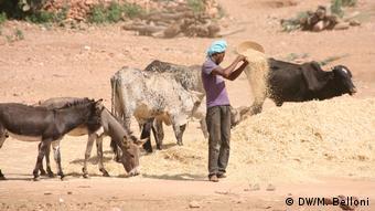 Homem distribui ração para animais na Eritreia