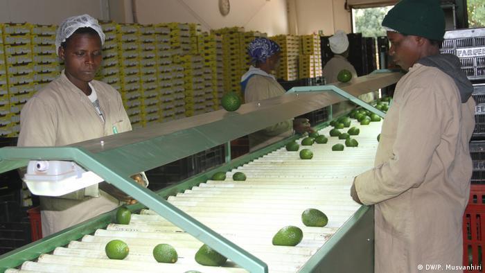 Women sorting avocados