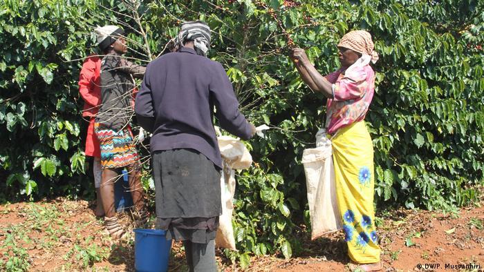 Simbabwe Farfell Coffee Estate, Chipinge | Ernte