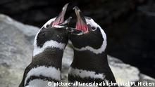 Humboldtpinguin, Spheniscus humboldti (picture-alliance/dpa/blickwinkel/M. Hicken)