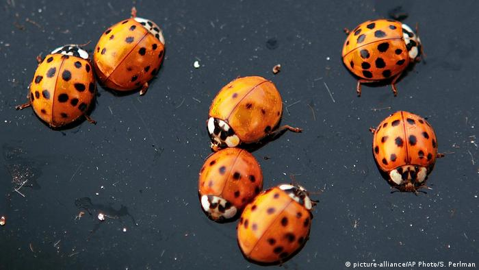 Coccinella Cloud B.Ladybug Swarm Over California Appears On Weather Radar