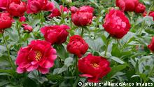 Paeonia lactiflora x officinalis