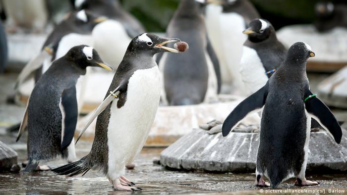 Pinguins in Edinburgh Zoo