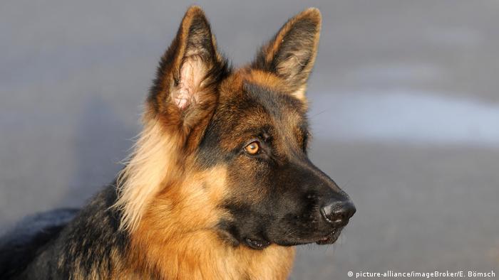 Deutscher Schäferhund (picture-alliance/imageBroker/E. Bömsch)
