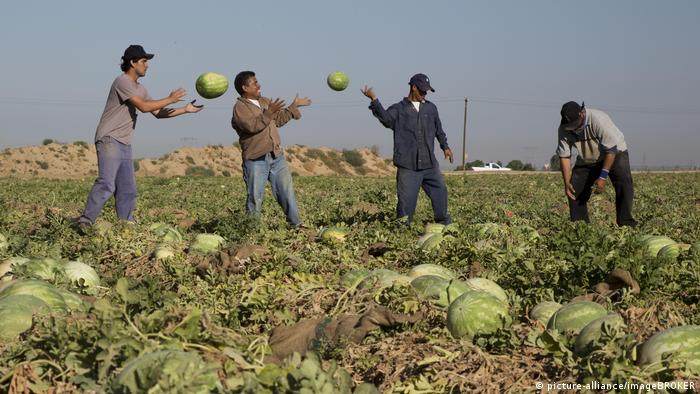 Mexican farm workers harvesting melons in San Joaquin Valley, California