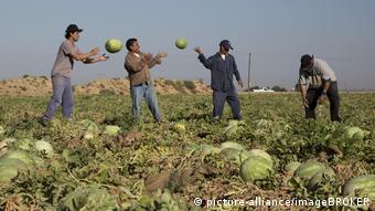 Μεξικανοί εποχικοί εργάτες μαζεύουν καρπούζια στην Καλιφόρνια