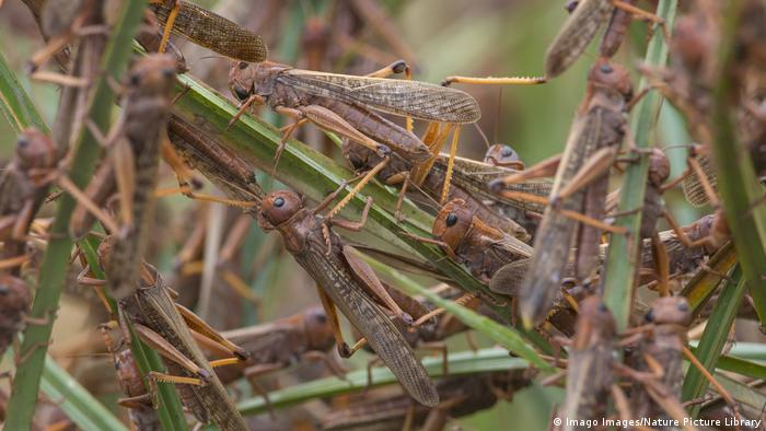 Migratory locusts feeding and resting in grass