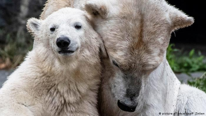 Polar bears in Berlin zoo (picture-alliance/dpa/P. Zinken)