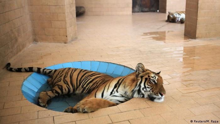 BdTD Pakistan Zoo Lahore | Tiger sucht Kühlung (Reuters/M. Raza)