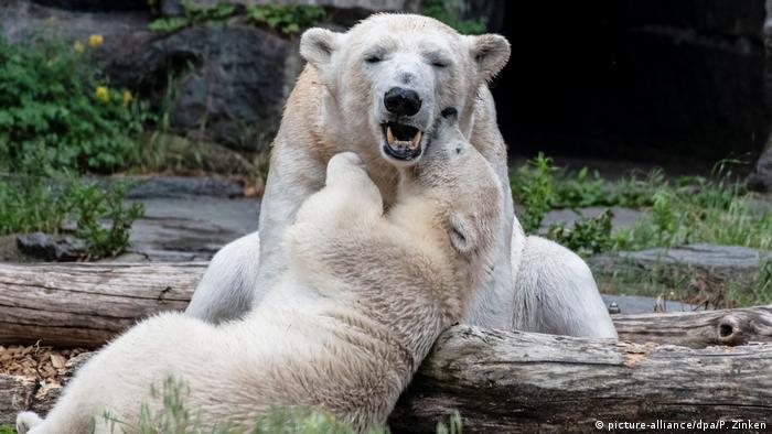 Белые медведицы Тоня и Герта в зоопарке Берлин-Фридрихсфельде