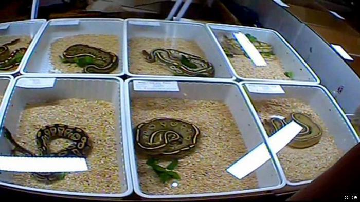 Serpientes expuestas en la feria de reptiles de Terraristika.
