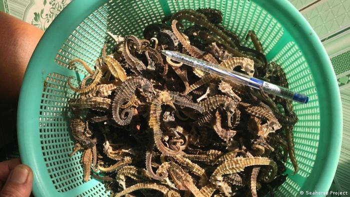 A basket full of seahorses with a pen for scale