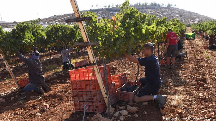 Israel Weinproduktion im Westjordanland
