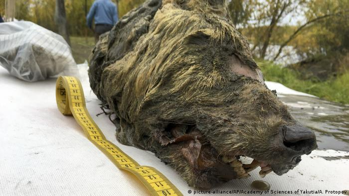 The head of a 40,000-year-old wolf found in Siberia
