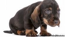 Wire haired sausage dog (picture-alliance/blickwinkel/fotototo)