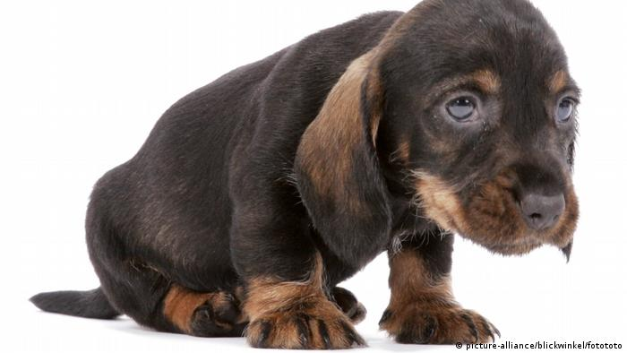 dachshund puppy (picture-alliance/blickwinkel/fotototo)