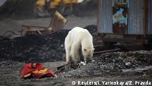 Russland Norilsk | Streunender Eisbär