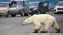 The polar bear in Norilsk