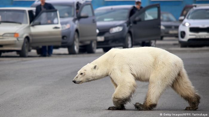 Polar bear wanders through Russian city of Norilsk