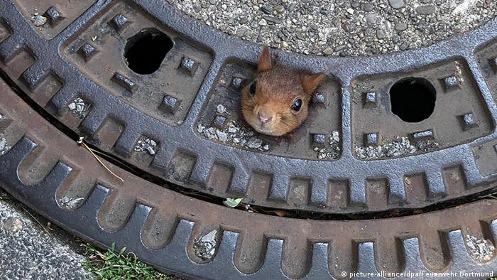A squirrel caught in a manhole cover in Dortmund, Germany