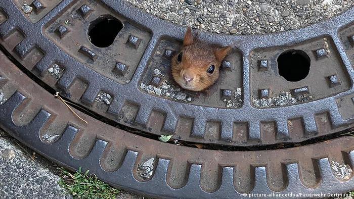 Deutschland Eichhörnchen steckt in Gullydeckel fest BdTD (picture-alliance/dpa/Feuerwehr Dortmund)
