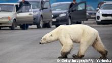 Russland | Hungernder Eisbär taucht in der sibirischen Stadt Norilsk auf