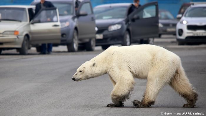 التغيرات المناخية تدفع الدببة القطبية لدخول المناطق المأهولة بالسكان بحثا عن الطعام