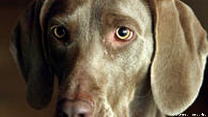 Ein Weimaraner (Foto: picture-alliance / dpa)