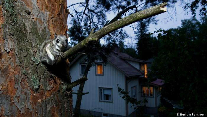 Siberian Flying Squirrel in front of house, Finland