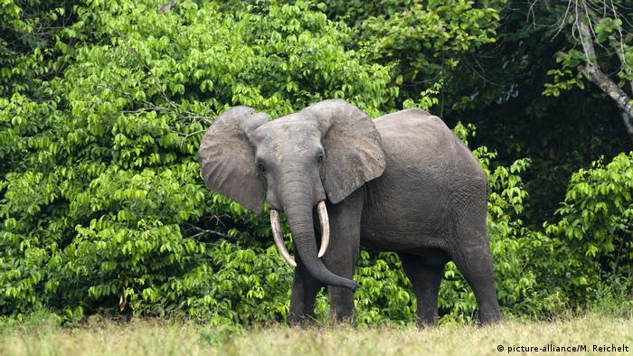 An African forest elephant in Gabon