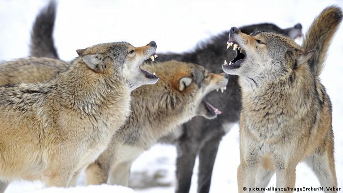 Mackenzie-Wölfe, Kanadische Wölfe | Canis lupus occidentalis