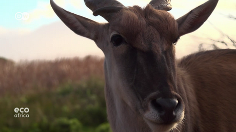 DW's Eco Africa - Eland antelope in South Africa