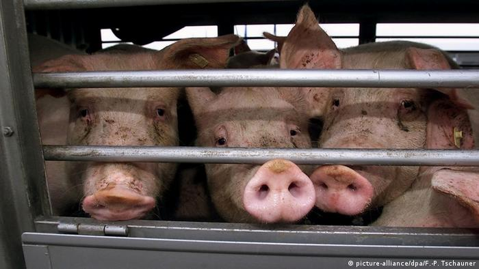 Pigs in a transport truck