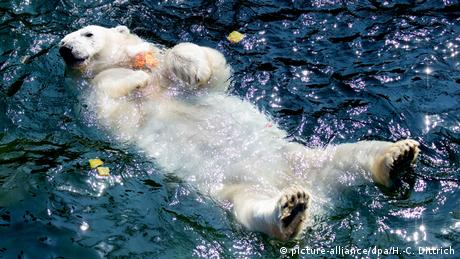 Polar bear in a pool
