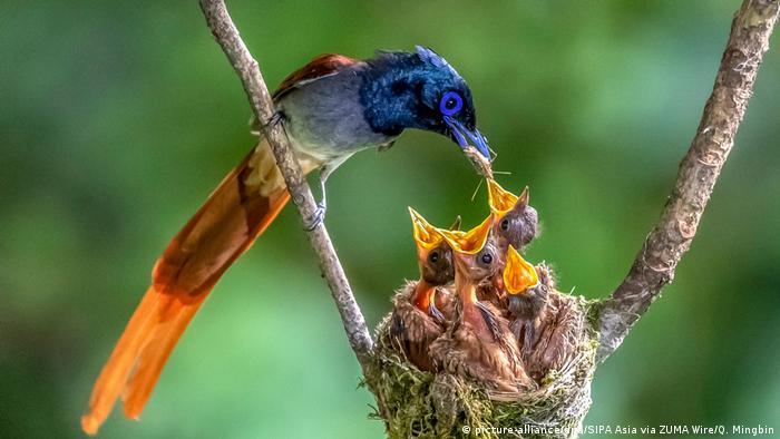 Ova azijska rajska muholovka sedam dana je gradila gnijezdo od mahovine i trave za svoje mlade potomke. Fascinantna ptica veličine oko 20 centimetara živi od Kaspijskog mora do istoka Kine. Mlade dobija od marta do avgusta.