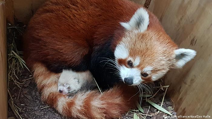 A red panda cub was born in a Halle (Saale) zoo on June 19