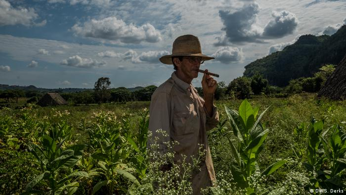 A farmer in a tobacco field smoking a cigar
