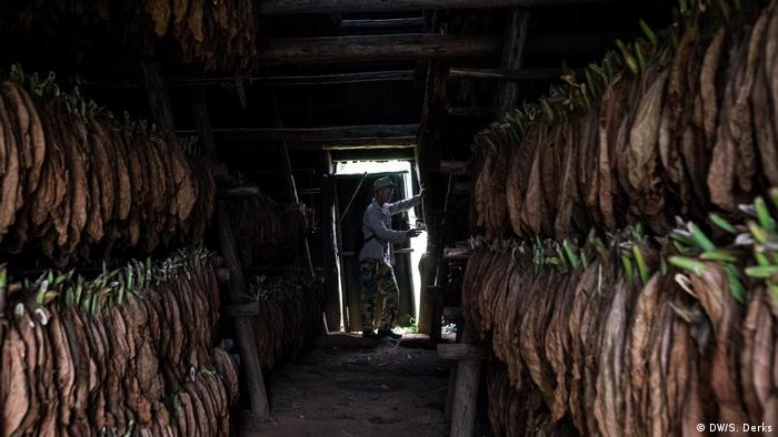 Tobacco plants drying in a shed