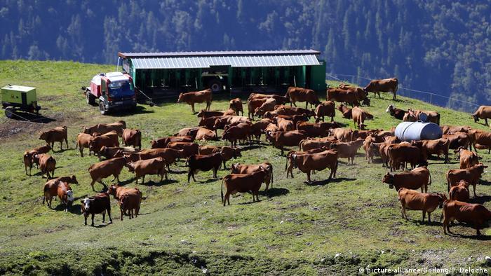 Frankreich Rinderzucht Symbolbild (picture-alliance/Godong/P. Deloche)