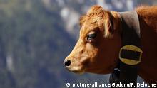 Frankreich Rinderzucht Symbolbild