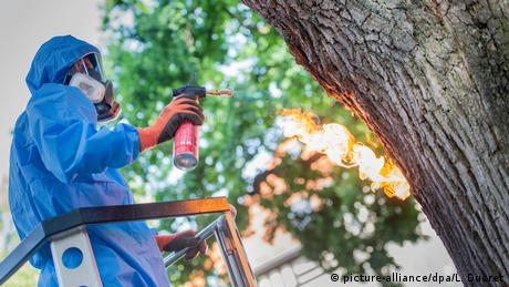 An exterminator uses a flame torch on an oak tree to get rid of oak processionary moth caterpillars in Berlin, Germany (picture-alliance/dpa/L. Ducret)