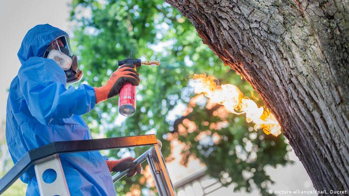 An exterminator uses a flame torch on an oak tree to get rid of oak processionary moth caterpillars in Berlin, Germany
