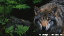 Press photos from Biosphere Expeditions wolf tour in Lower Saxony. Do not reuse. Credit is Biosphere Expeditions