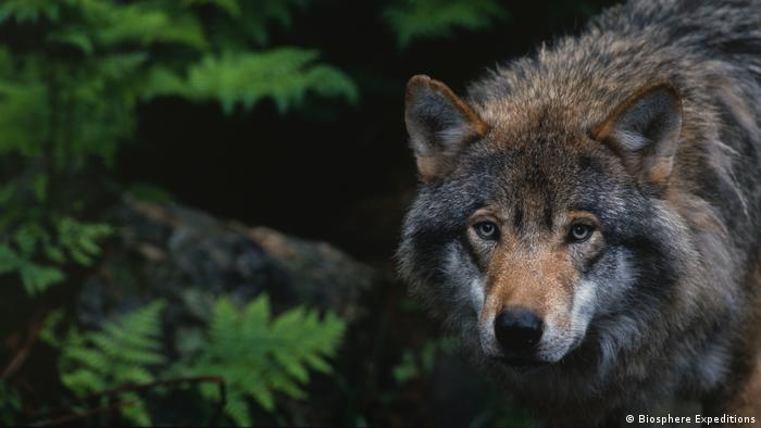A press photo of a wolf released by Biosphere Expeditions