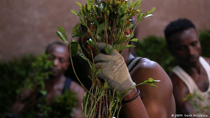 A man holds up a handful of khat branches (DW/M. Gerth Niculescu )