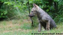 Streunender Welpe ist ein Wolf - Unterbringung in Wildpark BdT