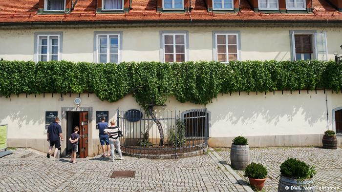 The oldest fruit-bearing vine in the world, in Maribor, Slovenia