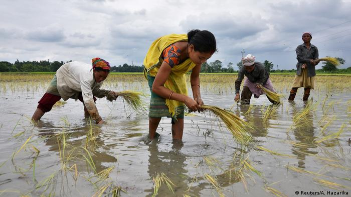 Women planting rice saplings in a paddy in Assam, India